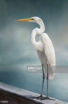 Great White Egret standing on the end of the pier at Fort Myers Beach, Florida. Bird Painting Acrylic, Acrylic Paintings, Rock Painting, White Egret, Fort Myers Beach, Shorebirds, Animals Beautiful, Beautiful Birds, Pictures To Paint