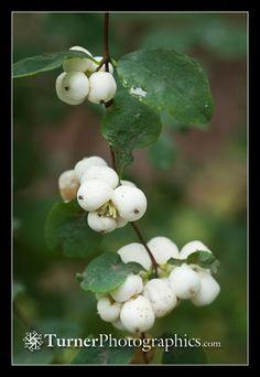 Common Snowberry - symphoricarpos alba