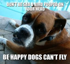 the sarcastic boxer dog is at it again. A boxer dog bird poop meme created on Petrage. The Social Media Site for Pets-Join Us! Boxer Memes, Boxer Dog Quotes, Boxer Dogs Facts, Dog Memes, Boxer Dog Puppy, Dog Cat, Fun Online Quizzes, Brindle Boxer, Dogs