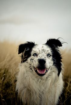 Beautiful Border Collie.
