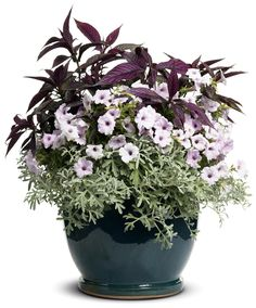 Filler  Silver Cascade®  Dusty Miller Artemisia stelleriana  Qty:2  Spiller  Supertunia® Mini Silver  Petunia hybrid  Qty:1  Thriller  Persian Shield Strobilanthes dyerianus  Qty:1