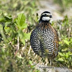 Get started raising Jumbo Wisconsin Bobwhite Quail by purchasing some eggs #eggs