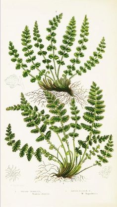 Oblong Woodsia. The ferns of Great Britain, and their allies the club-mosses, pepperworts, and horsetails London :Printed for the Society for Promoting Christian Knowledge :[1855] Biodiversitylibrary. Biodivlibrary. BHL. Biodiversity Heritage Library