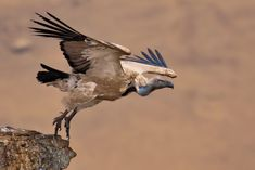 Cape vulture taking off at Giants Castle in Drakensberg, South Africa © Annette Heymans - Cape vulture taking off at Giants Castle in Drakensberg, South Africa © Annette Heymans