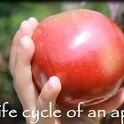 "FREE downloadable ""Life Cycle of an Apple"" video - a short introduction to an apple orchard and where apples come from."