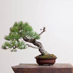 Ryan Neil Ponderosa Pine