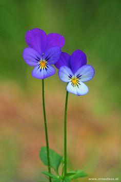 (Viola Tricolor)