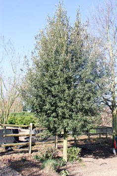 an established Quercus ilex standard, available from sizes 12-14 cm girth to 50-60 cm girth, from £322.90
