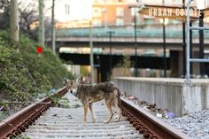 This urban coyote shows signs of mange, including a nearly hairless tail. © Karine Aigner