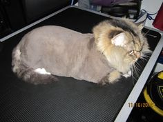 Lion Cut from Vancouver Downtown/ East.    http://www.aussiepetmobile.ca/vancouver-downtown/