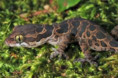 Jeypore Ground Gecko, Thought To Be Extinct for 135 years, Rediscovered! - This elusive gecko, the Jeypore Ground Gecko (Geckoella jeyporensis) had last been spotted by British colonel RH Beddome in the Eastern Ghats in 1877. Everyone thought it had gone extinct since then… but they were wrong! In 2010-11, a PhD student of Centre for Ecological Sciences spotted it again in Orissa.