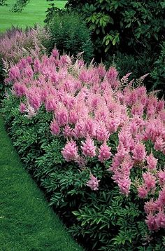PINK ASTILBE (goat's beard): 1) Perennial 2) Shade loving with consistent moist soil 3) Foliage 8 in. tall, 1 to 2 ft. wide. Flower spikes 10 to 15 in. tall 4) Blooms mid-summer 5) attracts butterflies, deer resistant
