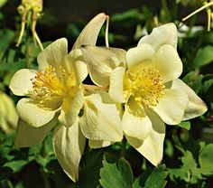 Aquilegia Goldfinch