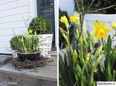 'narsissi' 'tete' Narcissus pseudonarcissus 'tete-a-tete' / ripaus vettä jos rutikuiva, pakkasenkestävyys karaistuna -10astetta.