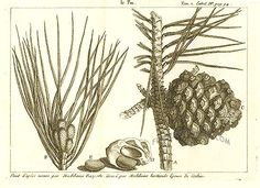 Antique print: picture of Pine Tree and pine nuts - 9 x 6.5 (22 x 16.5 cm)