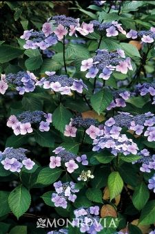Blue Wave Lacecap Hydrangea Avg size 6' height & width Love Lacecaps especially mixed with Hosta and Astilbe