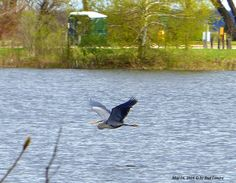 The Great Blue Heron in flight