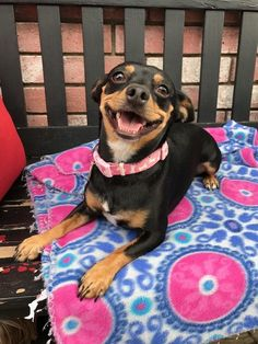 Rosita is an adoptable Dog - Chihuahua & Miniature Pinscher Mix searching for a forever family near Dallas, TX. Use Petfinder to find adoptable pets in your area.