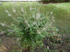 ALFAVACA - Ocimum basilicum - manjericão