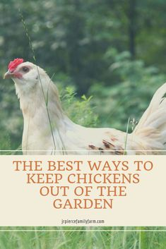 Want your chickens to stop getting in the garden? Are they destroying your plants? Consider these tips to keep them out - or to keep them in your garden without sacrificing your crops. Types Of Chickens, Raising Backyard Chickens, Keeping Chickens, Pet Chickens, Rabbits, Raised Garden Beds, Raised Beds, Diy Herb Garden, Garden Ideas