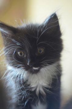 fluffy black and white tuxedo tux kitty kitten cat