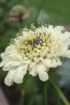 Giant Scabiosa  Cephalaria gigantea  (Code: PCEGA)  Grow amongst tall perennials and grasses, or at the back of a border against a drak hedge. Masses of yellow flowers dance above the perennial border like primrose fairies.