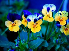 Blue and Yellow Pansies