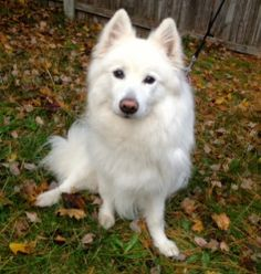 Adopted! Sushi is an adoptable Samoyed Dog in Spring Lake, NJ.  HI, I'm Sushi - not a fish dish but a dishy dog that you'll just love! I am a beautiful pure white Samoyed looking for a warm, caring home. ...