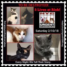 "TO BE DESTROYED 02/10/18 - - Info Please share View tonight's list here: http:// nyccats.urgentpodr.org/ tbd-cats-page/. The shelter closes at 8pm. Go to the ACC website( http:/www.nycacc.org/ PublicAtRisk.htm) ASAP to adopt a PUBLIC LIST cat (noted with a ""P"" on their profile) a… CLICK HERE FOR ADDITIONAL INFO/P...- Click for info & Current Status: http://nyccats.urgentpodr.org/to-be-destroyed-32017/"