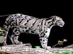 *** Snow leopard *** - Other Wallpaper ID 1348500 - Desktop Nexus Animals Big Cats, Cute Cats, Leopard Tattoos, Clouded Leopard, Cat Wallpaper, Leopards, Snow Leopard, Beautiful Cats, Animal Kingdom