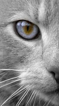 gorgeous grey cat