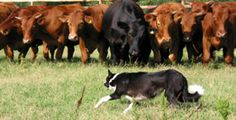 Border collie working a herd of beef cattle.