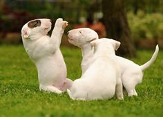 #Bull #terrier #pups at play. Oh my gosh I'm in love with these sweet babies.