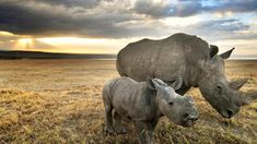 A mother and baby rhino amble toward their shelter for the night in Nairobi's Lake Nakuru National Park. (Photo by Chris Minihane) See more from the. National Geographic Photography, National Geographic Photos, Wildlife Photography, Animal Photography, Wild Life, Weird Pictures, Animal Pictures, Rhino Pictures, Rhino Poaching