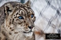 This beautiful girl is Sherri, one of our snow leopards - the Edmonton Valley Zoo participates in the Species Survival Program for snow leopards.