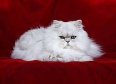 Chinchilla silver persian Santa baby