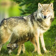 Ask the Fish and Wildlife Service to look into the case of a family who illegally poached an endangered pack of wolves.