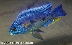 Scientific Name: Copadichromis verduyni (Narangu) Common Name(s): Haplochromis Borleyi Eastern