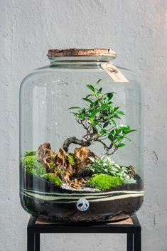 """Terrarium """"Giga"""" Join the TinyGardens Family with this giant beauty. Mini Terrarium, Bottle Terrarium, How To Make Terrariums, Air Plant Terrarium, Bottle Garden, Orchid Terrarium, Garden Shrubs, Bonsai Garden, Jouer Au Poker"""