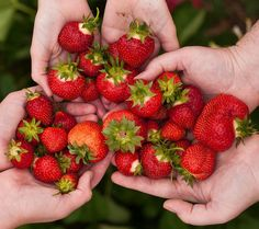 Strawberry facts kids will love