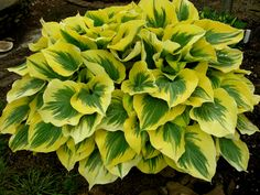 Hosta;First Frost; SHADE GARDENS