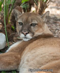 If a big cat sneezes in the world, you will find out about it here. Big Cat Rescue, Animal Rescue, Cat Sneezing, Funny Cats, Funny Animals, Cat Species, Mountain Lion, Cat Valentine, Pumas