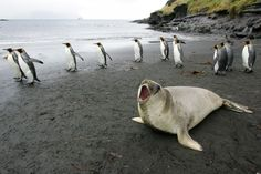 These elephant seals just taught scientists why Antarctica is melting so fast -— Marine Mammals Exploring the Oceans Pole to Pole. The program has installed non-invasive or scientific instruments, called tags, on southern elephant seals — the world's largest pinnipeds — and other marine mammals in both the Arctic and Antarctic. And the result is 300,000 measurements of key ocean variables, and scores of scientific publications.