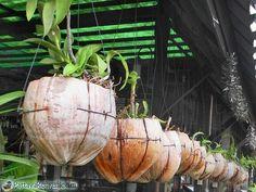 Recycler des noix de coco pour faire pousser des orchidées
