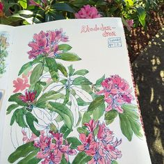 Rhododendrons blooming in my backyard, swaying in the wind and nourished by the sunshine. 🌺🌺☀️😎 Blue Micron 0.8mm pen and Sakura Koi watercolors. #caobeckysketch
