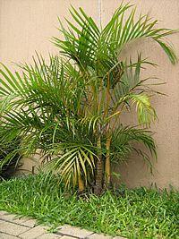 Dypsis lutescens - Palmeira-areca, Areca, Areca-bambu - popular palmeira com inflorescências ramificadas,numerosas e pequenas flores de cor branco-creme, perfumadas. Os frutos são verde-amarelados e tornam-se arroxeados quando maduros. Apresenta rápido crescimento. Conduzida de duas formas: com porte arbustivo (mais natural - até 3 metros) ou arbóreo (com poda especial – até 9 metros). Deve ser cultivada sob pleno sol, meia-sombra ou sob luz difusa. Aprecia umidade do ar elevada.