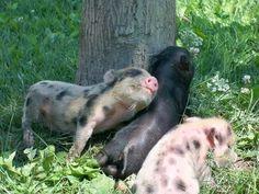 Piggies Love