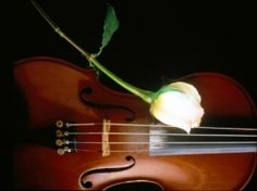 Beautiful glowing white rose flower on a delighting musical instrument so called Violin . pictures of rose flowers Bon Weekend, Violin Music, Art Music, White Rose Flower, Rose Flowers, Find A Song, E Piano, Partition, First Love