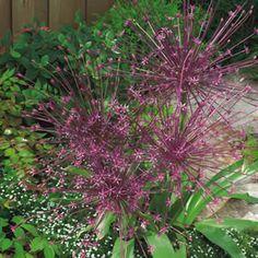 ALLIUM SCHUBERTII - Garden Express Garden Express, Spring Flowering Bulbs, Allium, Garden Plants, Nature, Black, Naturaleza, Black People, Nature Illustration