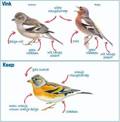 Herkenningstips voor vink en keep (illustraties door Elwin van der Kolk)